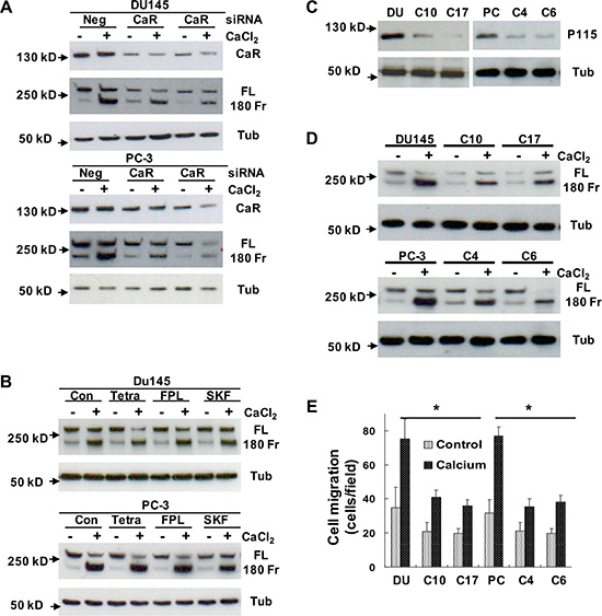 Determination of the role of CaR-mediated signaling in the cleavage of filamin A.
