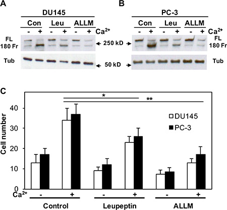 Effect of either leupeptin or ALLM on Cao2+-induced filamin A cleavage and cell migration.