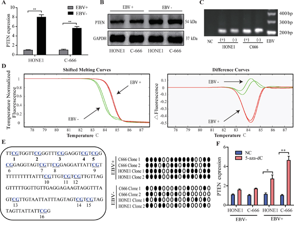Down-regulated PTEN and higher CpG island methylation intensity in NPC cell lines with EBV infection.