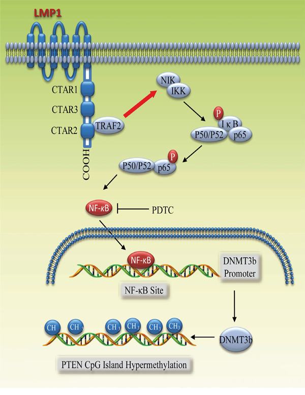 The model for LMP1-mediated DNMT3b activation via NF-κB signaling.