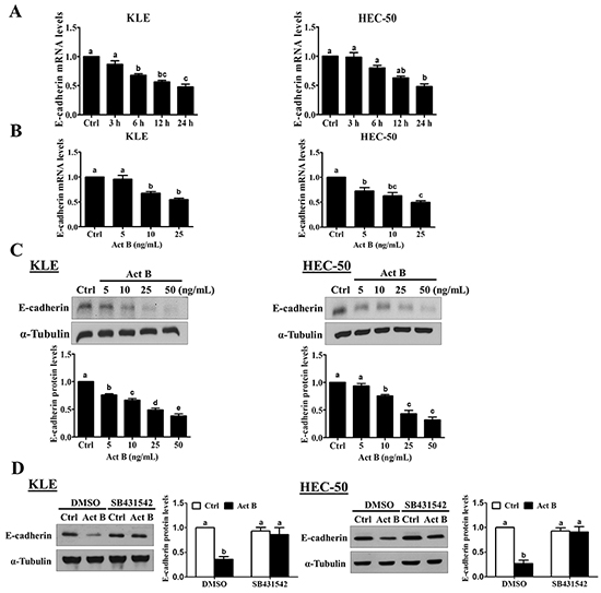 Activin B down-regulates E-cadherin expression in human endometrial cancer cells.