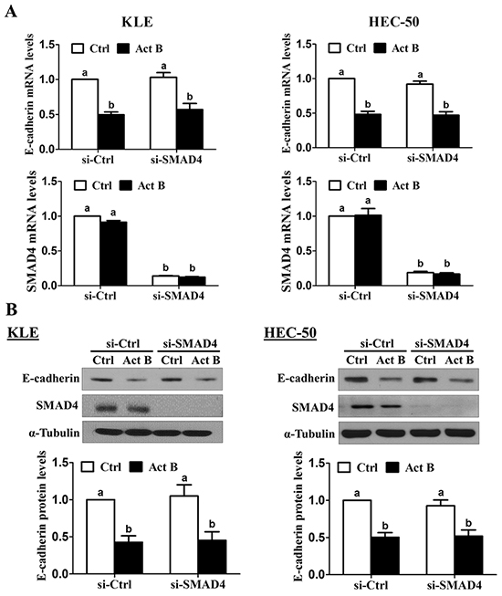 SMAD4 is not required for the down-regulation of E-cadherin by activin B.