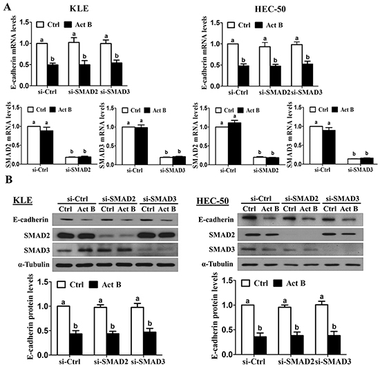 SMAD2 and SMAD3 are not required for activin B-induced down-regulation of E-cadherin.