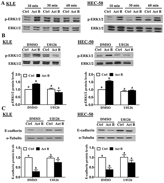 MEK-ERK1/2 signaling is required for the down-regulation of E-cadherin by activin B.