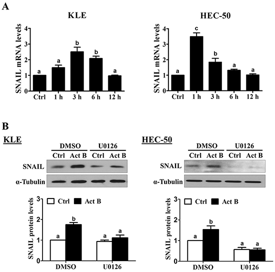 Activin B up-regulates SNAIL via MEK-ERK1/2 signaling.