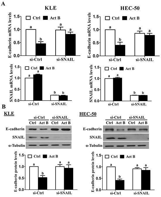 SNAIL is required for the down-regulation of E-cadherin by activin B.