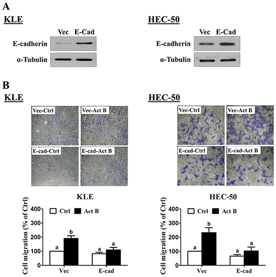 Forced-expression of E-cadherin inhibits activin B-induced cell migration.