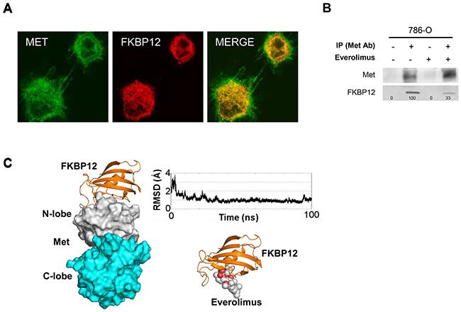 Everolimus inhibits phospho-Met phosphorylation via FKBP12.