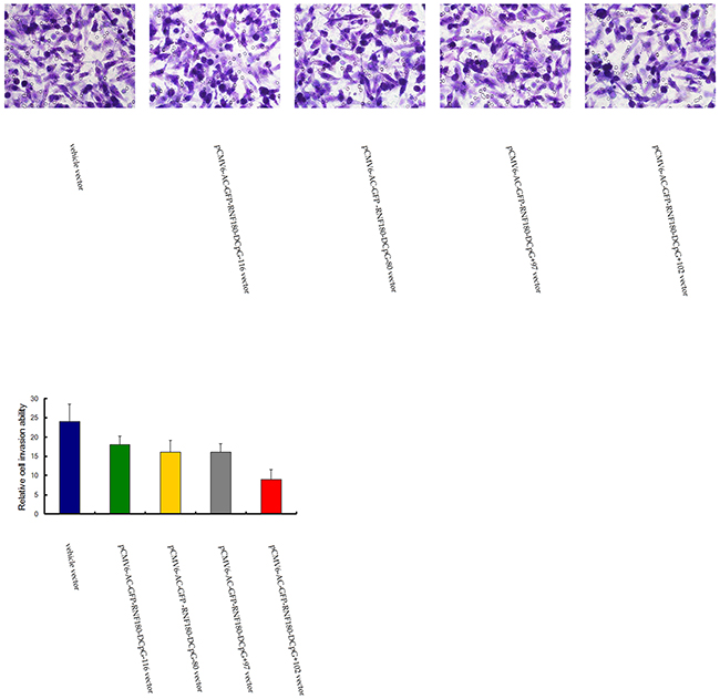 Transwell tumor cell invasive assay for MGC-803 cells transfected with various vectors.