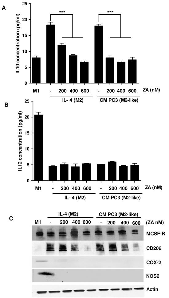 ZA suppresses monocyte differentiation toward M2 macrophages