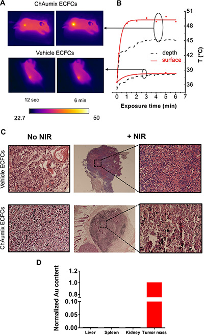 Photothermal ablation of human melanoma xenograft with Au-rich ECFCs.