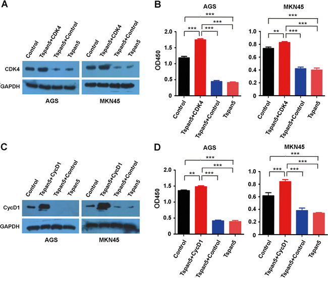 Restitution of CDK4 and cyclin D1 rescued the phenotype produced by Tspan5.