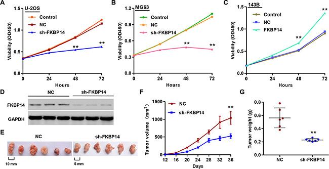 FKBP14 knockdown inhibits cell proliferation