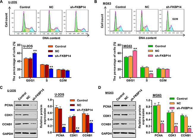 FKBP14 knockdown induces cell cycle arrest.