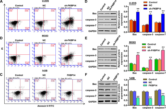 FKBP14 knockdown induces cell apoptosis.