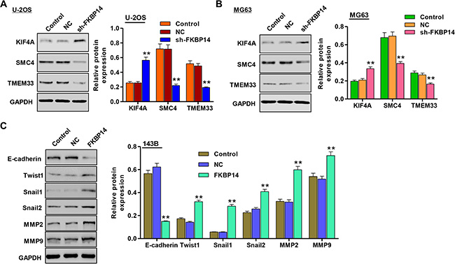 Effect of FKBP14 knockdown on the expression of proteins correlated with invasion and adhesion.