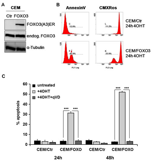 FOXO3 activation induces caspase-dependent apoptotic cell death in CEM cells.