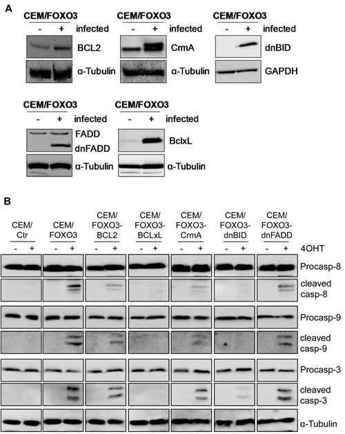 FOXO3-induced apoptosis depends on extrinsic and intrinsic death signaling.