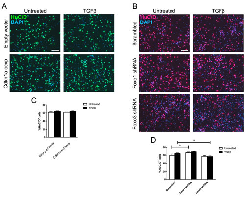 Neuronal differentiation at E13.5 is unaffected by
