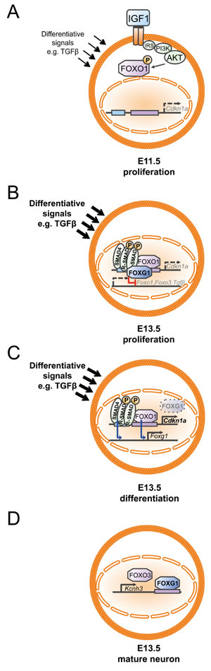 Developmental dynamics of the FOXG1/FOXO/SMAD4 network in the context of cortical progenitor proliferation and differentiation.