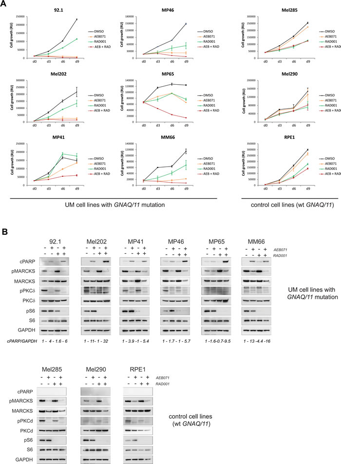 Co-inhibition of PKC and mTORC1 induces cell death in the majority of UM cell lines.