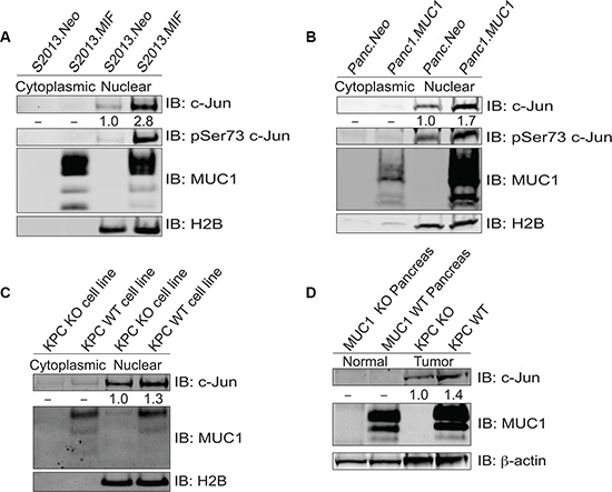 MUC1 increases expression of c-Jun protein.
