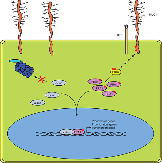 MUC1 and ERK Cooperate to Drive Association of c-Jun and FRA-1.