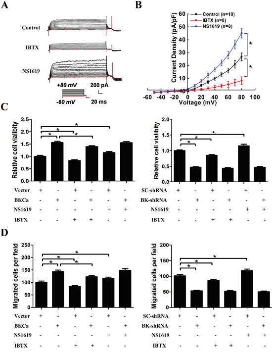 Effects of BKCa channel activator and inhibitor on the proliferation and migration of PC3 cells upon BKCa upregulation or downregulation.