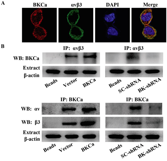 Characterization of the integrin αvβ3/BKCa complex in prostate cancer PC3 cells.