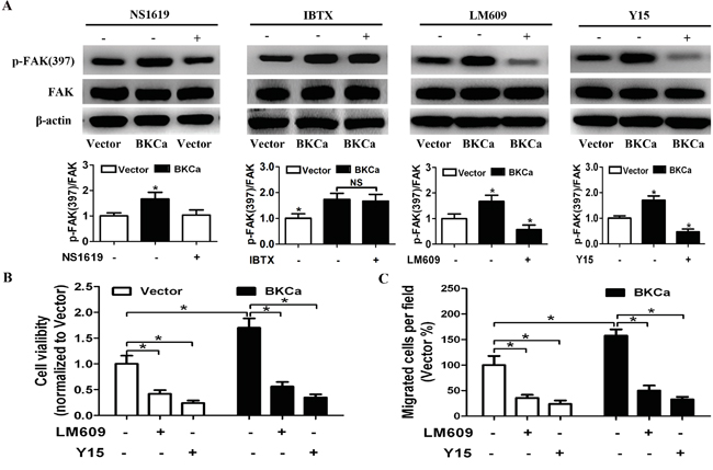 Suppression of integrin αvβ3/FAK signaling abrogates BKCa-enhanced proliferation and migration.