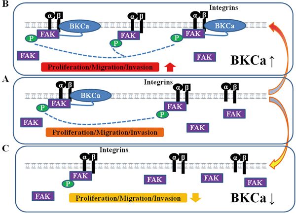 Proposed mechanism for the role of BKCa in regulating prostate cancer cell proliferation, migration and invasion.
