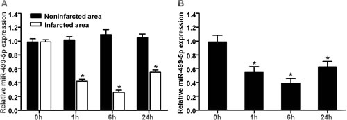 The expression levels of miR-499-5p in the infarcted hearts and neonatal rat cardiomyocytes under hypoxia.