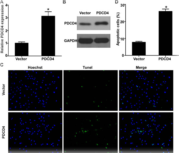 PDCD4 was involved in miR-499-5p-mediated cardiomyocytes apoptosis.