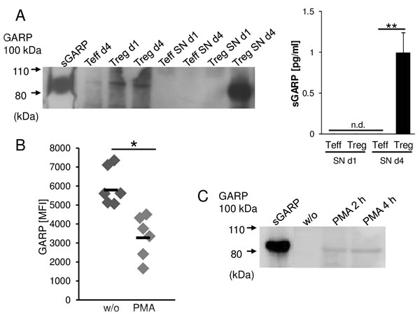 GARP is shed from activated Treg and melanoma cells.