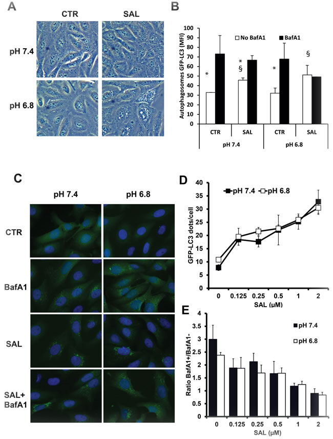 Effects of SAL on accumulation of GFP-LC3+ vesicles in HOS cells at pH 7.4 and 6.8.