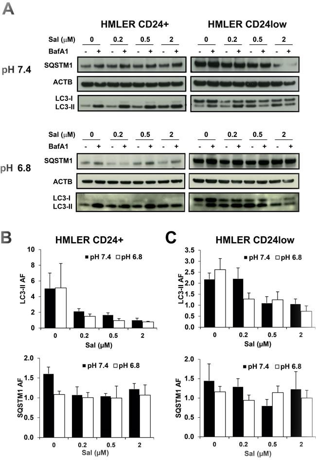 Effects of SAL on autophagy in HMLER cells by western blot.
