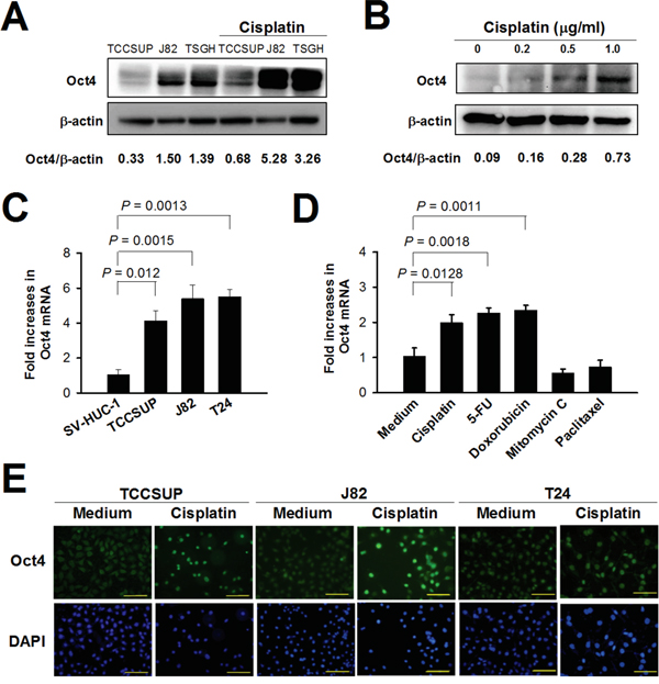 Treatment with cisplatin increases Oct4 expression in bladder cancer cells.