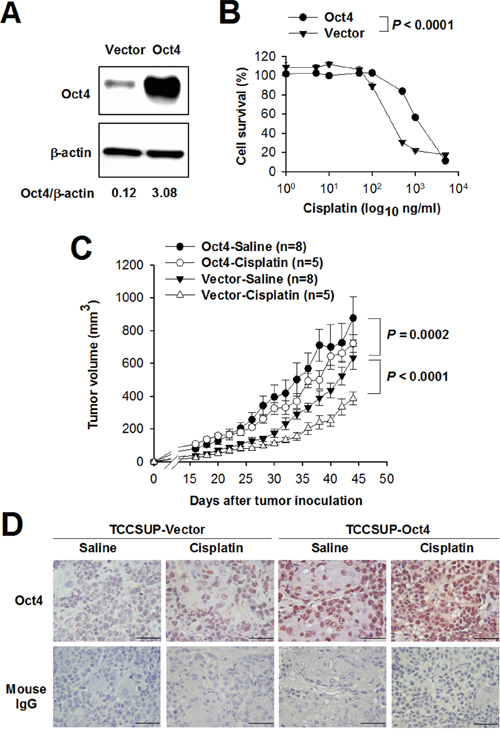 Overexpression of Oct4 confers resistance to cisplatin in bladder cancer.