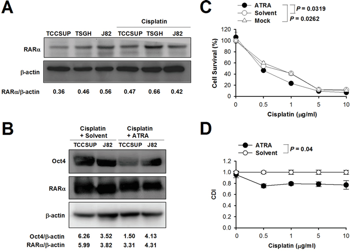 Combination treatment with cisplatin and ATRA increases sensitivity to cisplatin in bladder cancer cells.