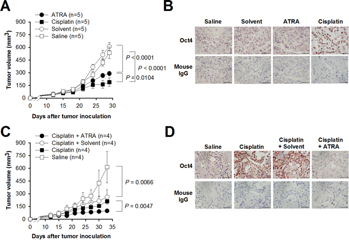 Combination treatment with cisplatin and ATRA is superior to cisplatin alone in suppressing bladder tumor growth in vivo.