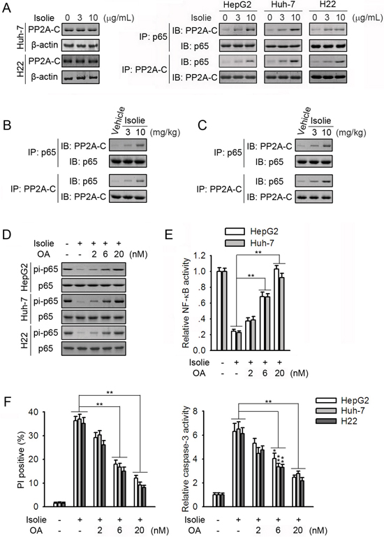 PP2A participated in isolie-induced p65 dephosphorylation.