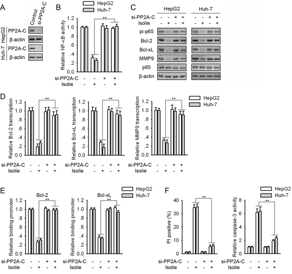 Knockdown of PP2A-C abrogated isolie-induced p65 dephosphorylation and HCC cell apoptosis.
