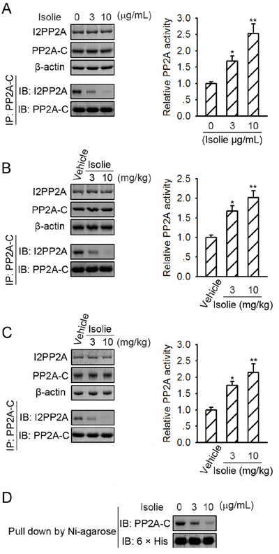 Isolie suppressed PP2A/I2PP2A interaction.