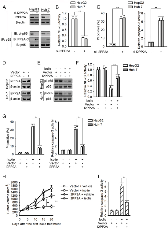 Isolie-provoked p65 dephosphorylation was initiated by decreased PP2A/I2PP2A interaction.