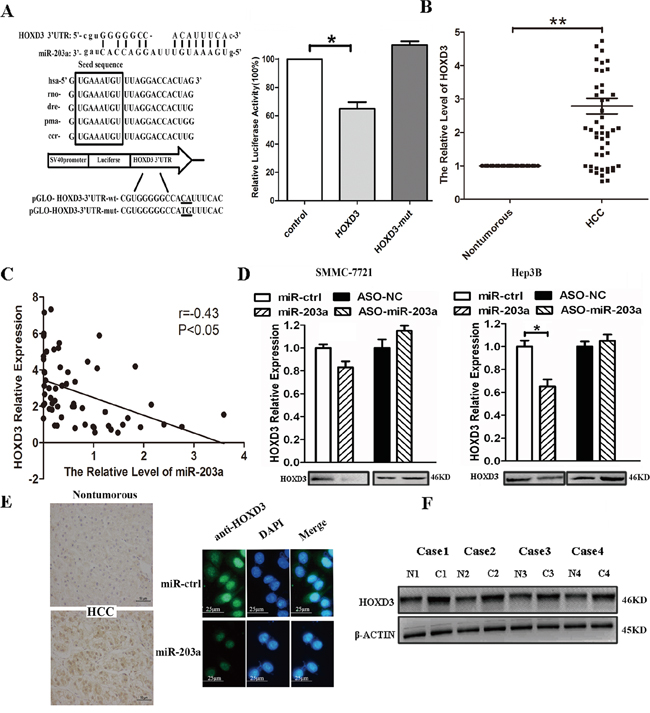 MiR-203a inhibits tumor proliferation by directly targeting HOXD3 in hepatocellular carcinoma.