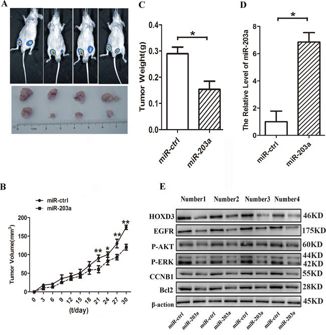 MiR-203a inhibits hepatocellular carcinoma progression in vivo.