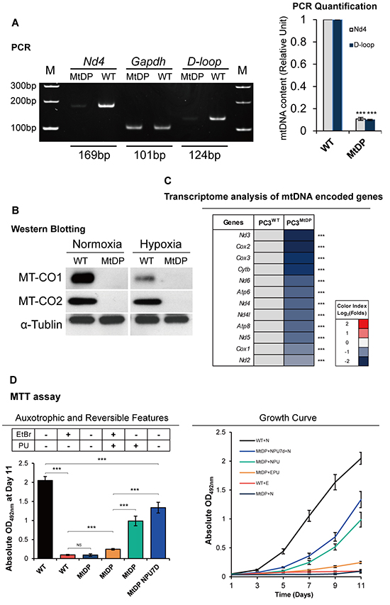 The MtDP PC3 cells are mtDNA depletion, pyruvate and uridine auxotrophic and slow cycling.