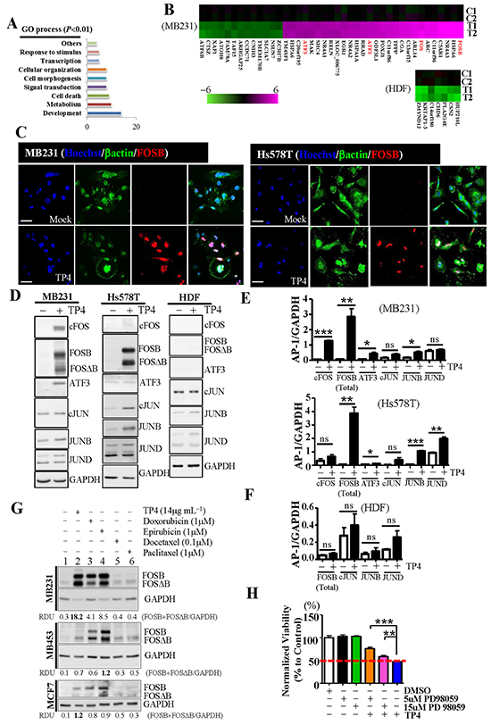 Induction of FOSB by TP4 in breast cancer cells.