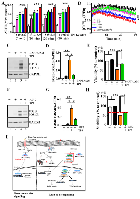 FOSB induction in TNBC cells requires calcium signaling.