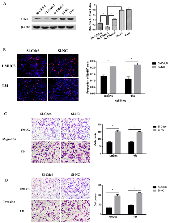 Cdc6 depletion reduced DNA replication, migration and invision in bladder cancer cells.